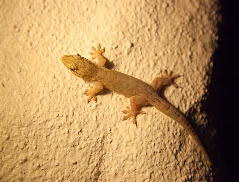 геккон на стене