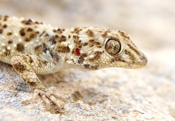 каспийский геккон