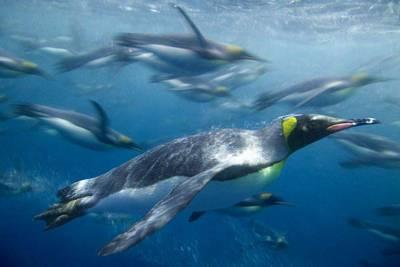 пингвины плавают