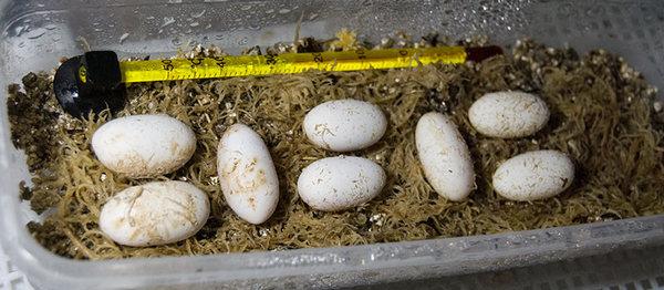 яйца геккона