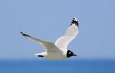 реліктова чайка